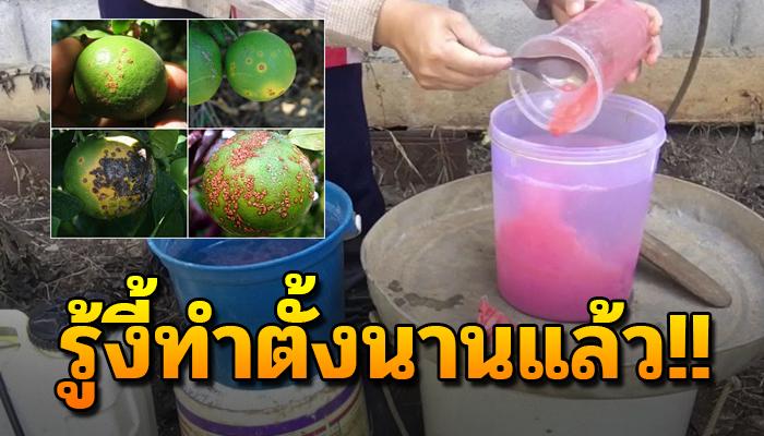 วิธีทำ น้ำปูนแดง ช่วยรักษาโรคแคงเกอร์ในสวนมะนาว